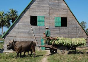 Harvesting tobacco in Cuba